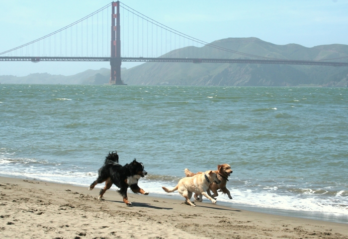 cabana running back towards the camera, on the edge of the ocean, romping with a golden retriever and bernese mountain dog