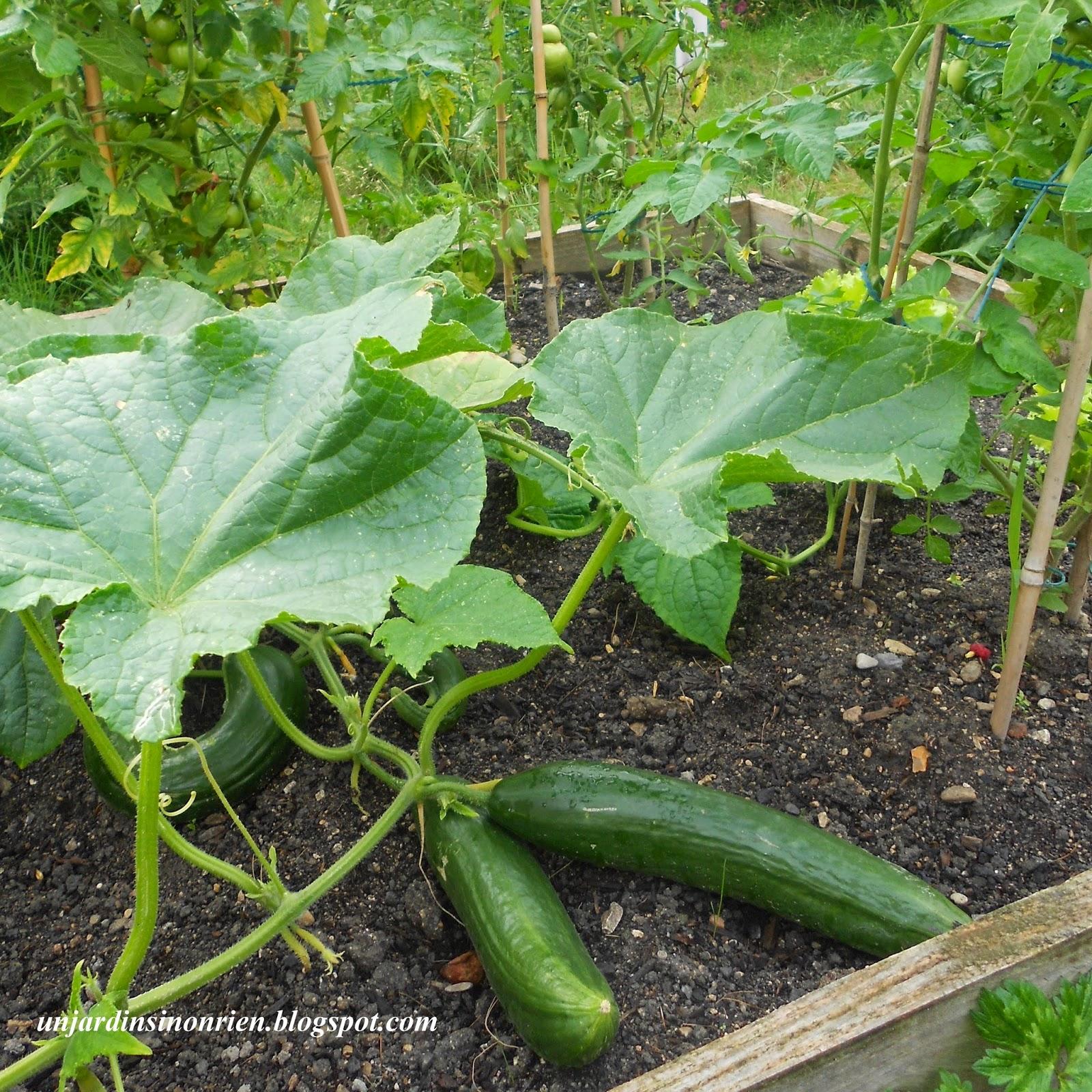 salade de concombre et ciboulette du jardin