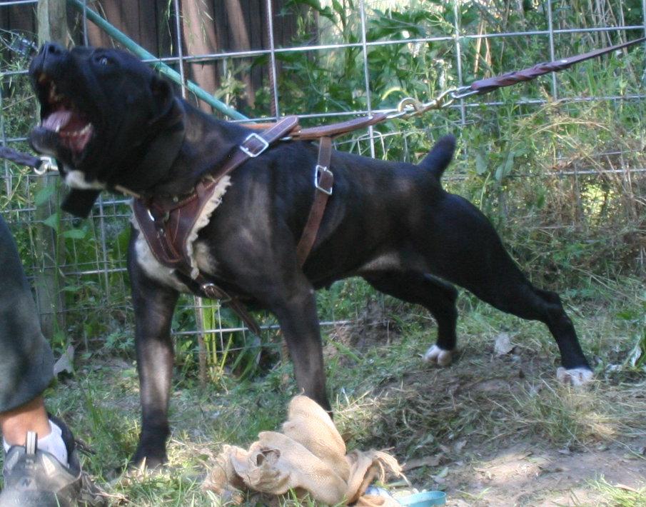 Best Dog Names For Female Dogo Argentino
