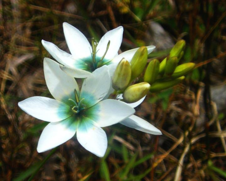 Цветок иксия