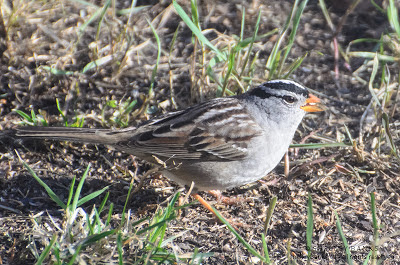 White-crowned Sparrow, Regina, SK. Photo  © Shelley Banks, all rights reserved.