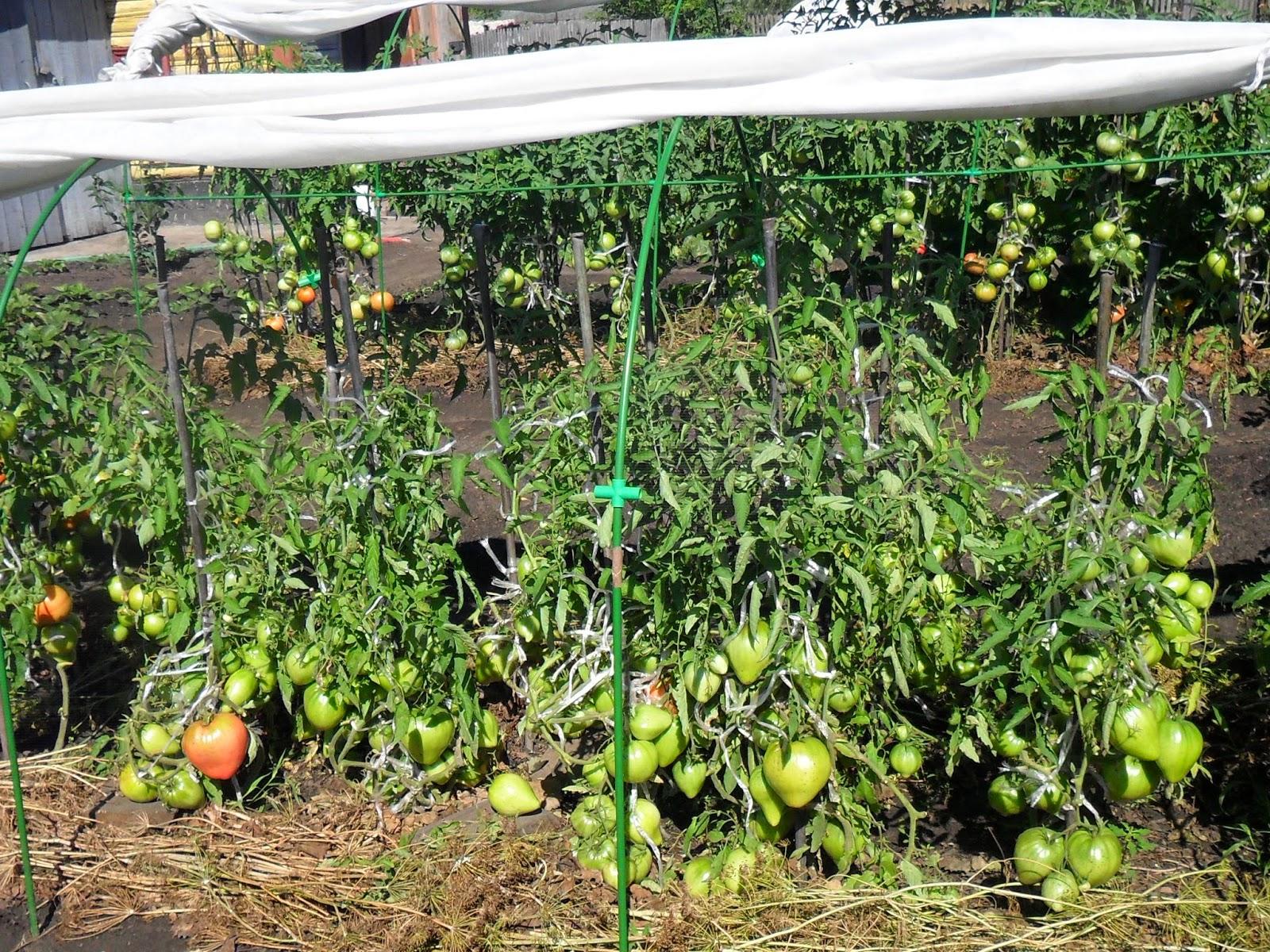 Детерминантные помидоры сорт Севрюга выросли довольно крупными