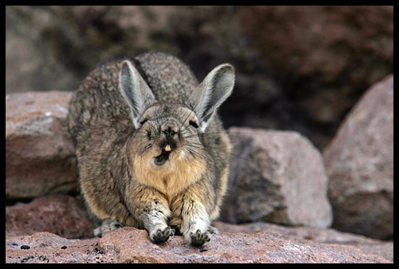 the natural world animal of the day viscacha. Black Bedroom Furniture Sets. Home Design Ideas