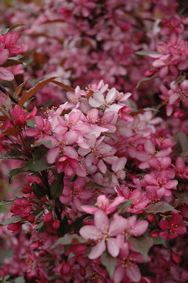 Royal Raindrops crabapple flowers