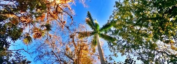 Palmen im Big Cypress State Park Florida USA
