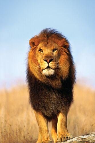 Фото лев нарисованный - b5044