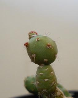 cactus Tephrocactus flexispinus