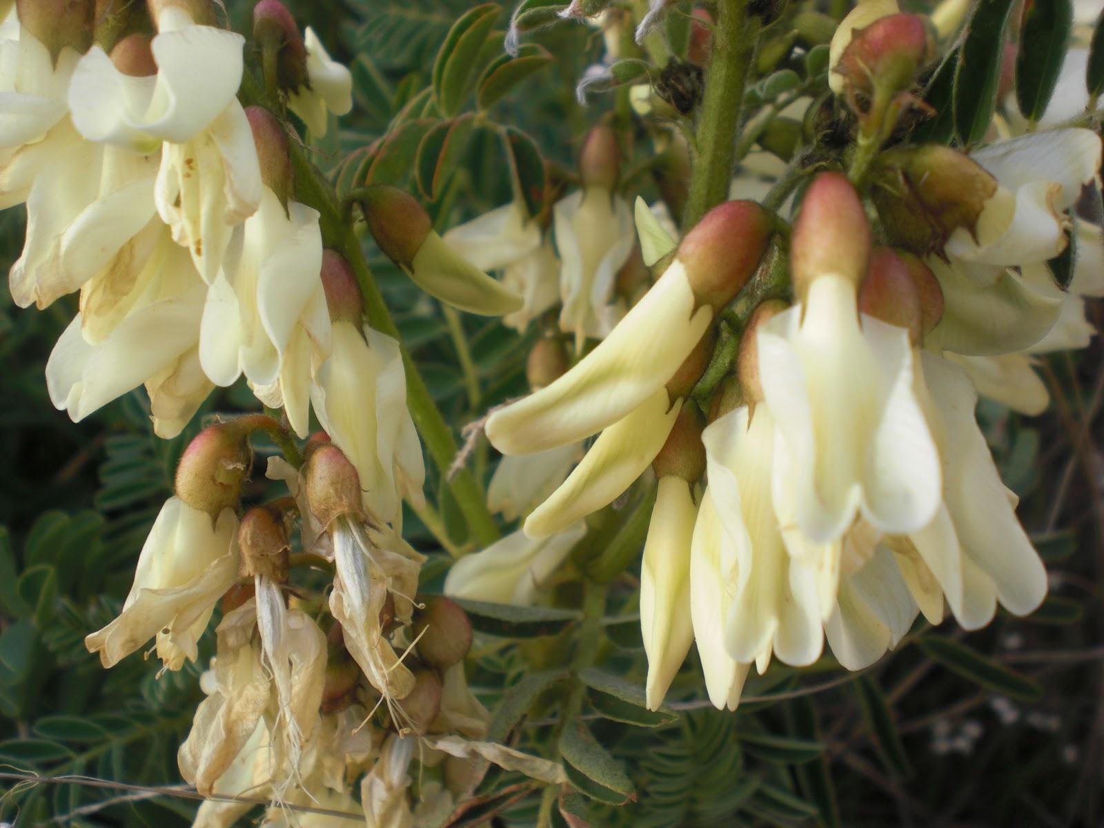 de Extremadura Astragalus Lusitanicus, leguminosa Familia Fabaceae