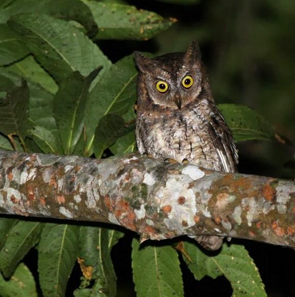 Ditemukan Jenis Burung Hantu Baru dari Pulau Lombok