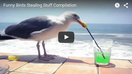 http://funchoice.org/video-collection/funny-birds-stealing-stuff-compilation