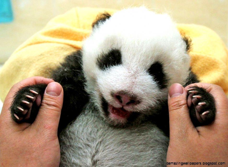 15 Drop Dead Cute Pandas   GET HAPPY   Exotic Animals amp Pets