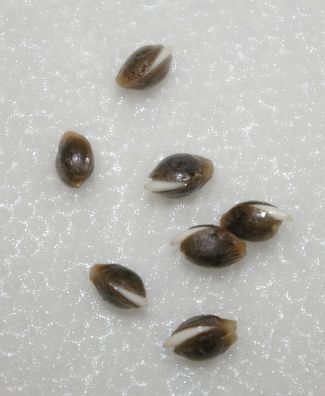 Cannabis Seeds Germination - how to grow cannabis