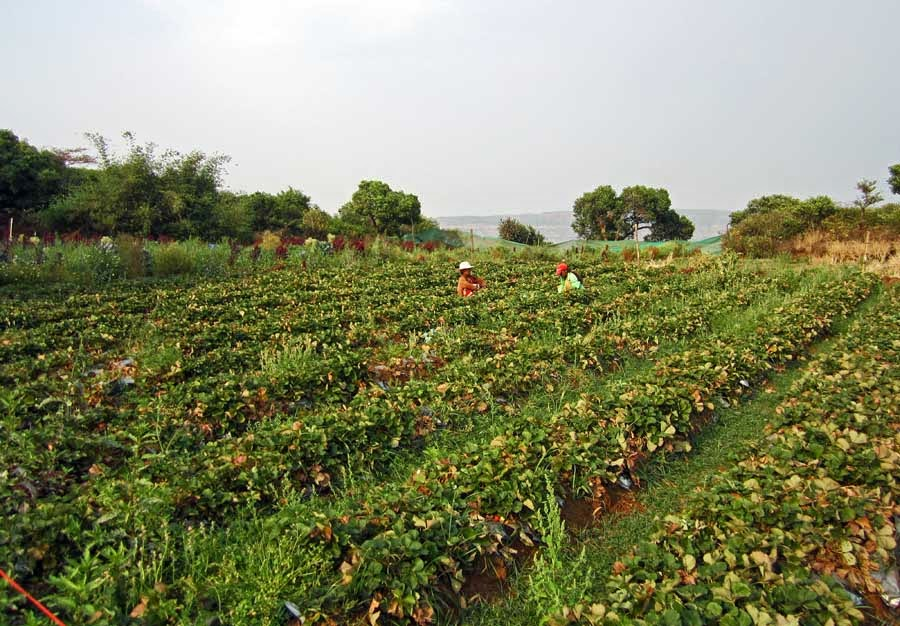 Strawberry fields in mahabaleshwar
