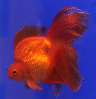 goldenfish-ryukin