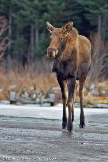 Moose Stroll - Homer, Alaska