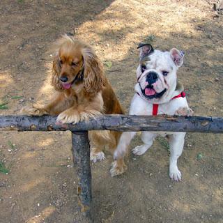 εκπαιδευση σκυλου κοκερ και μπουλντογκ βασικη υπακοή