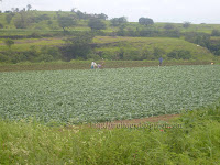 Cauliflower farming near Bhandardara dam near Pune in India