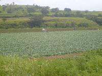 Cauliflower farming near Bhandardara dam near Pune in India