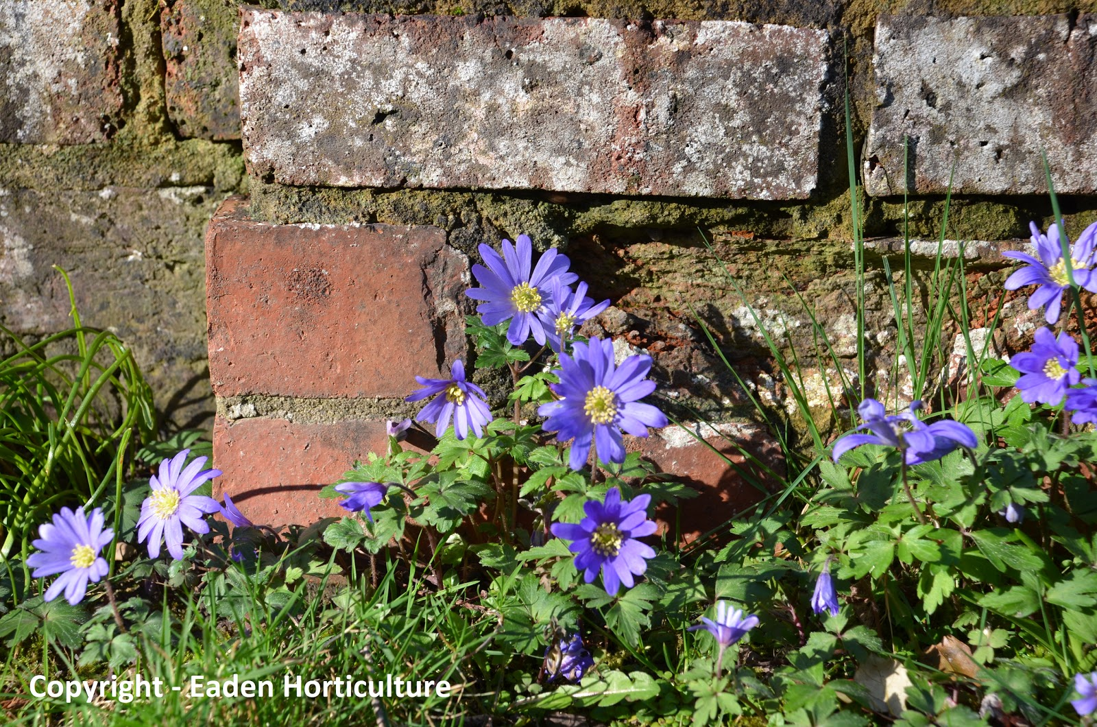 The windflower anemone blanda the garden of eaden Giant recreation world winter garden