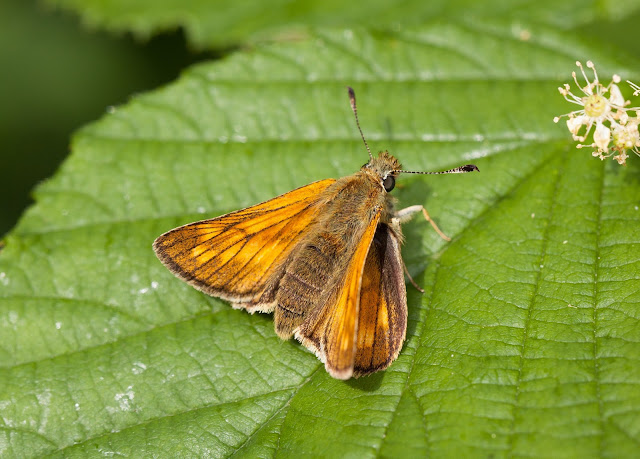Large Skipper - Fermyn Woods, Northamptonshire