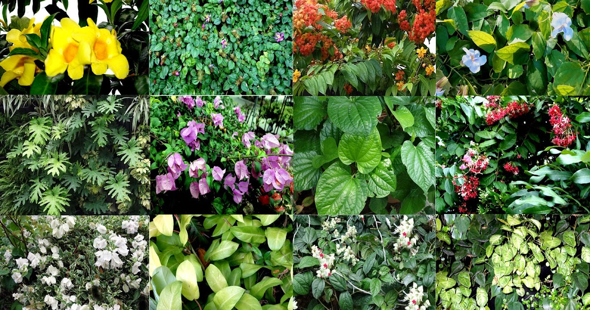 Garden climbers and creepers in malaysia and singapore for Trees garden of jane delawney blogspot