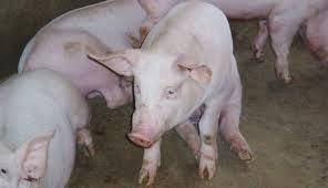 enfermedad infecciosa ovinos: