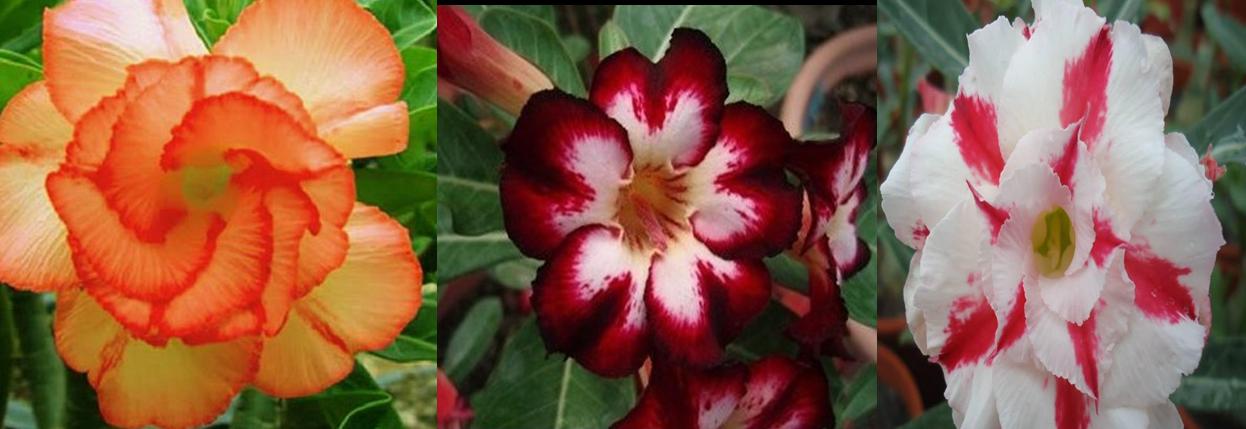 Sementes De Rosa Do Deserto Red Kit/10 Cores/ Frete Grátis em Duque de Caxias