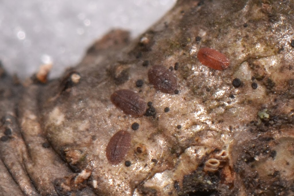 close-up photo of scale insects - juvenile oak lecanium scale