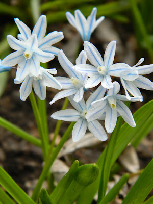 Puschkinia scilloides var. libanotica Striped Squill by garden muses-not another Toronto gardening blog