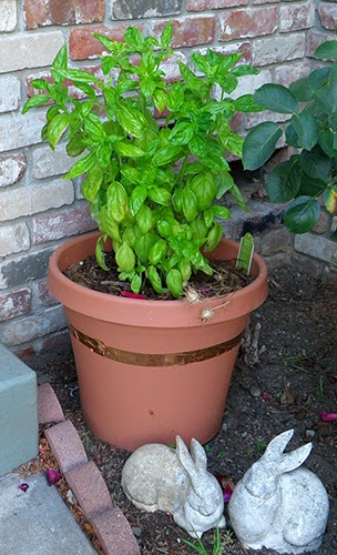 Basil in Pot Near Side of House