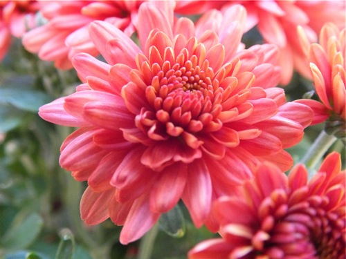 Live learn become fall flowers mums the name chrysanthemum is derived from the greek words chrysos meaning gold or golden and anthemon which means flower mightylinksfo