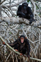 Chimpances arbol