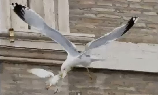 gaviota ataca paloma del papa Francisco