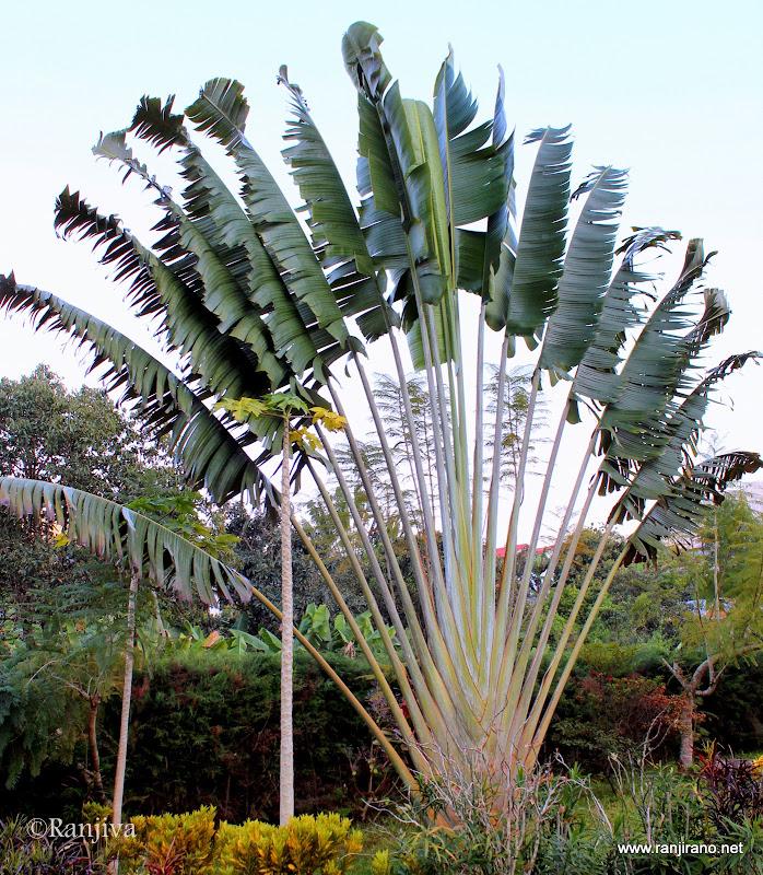 De l 39 utile l 39 agr able le majestueux ravinala arbre de voyageur paysages et fleurs au fil - Plante oiseau de paradis ...