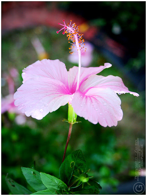 Photograph Flower Coral Hibiscus