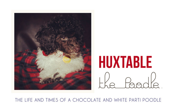 Huxtable The Poodle | Toy Poodle Blog | Parti Poodle
