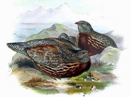 Indian birds - snow partridge - Lerwa lerwa