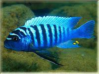 Zebra Cichlid Fish Pictures
