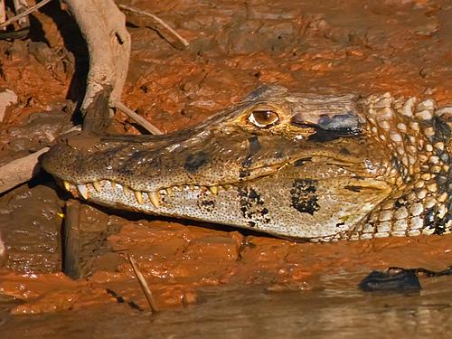 Black Caiman Amazon Rainforest