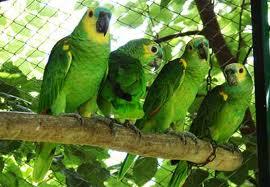 O Papagaio Verde