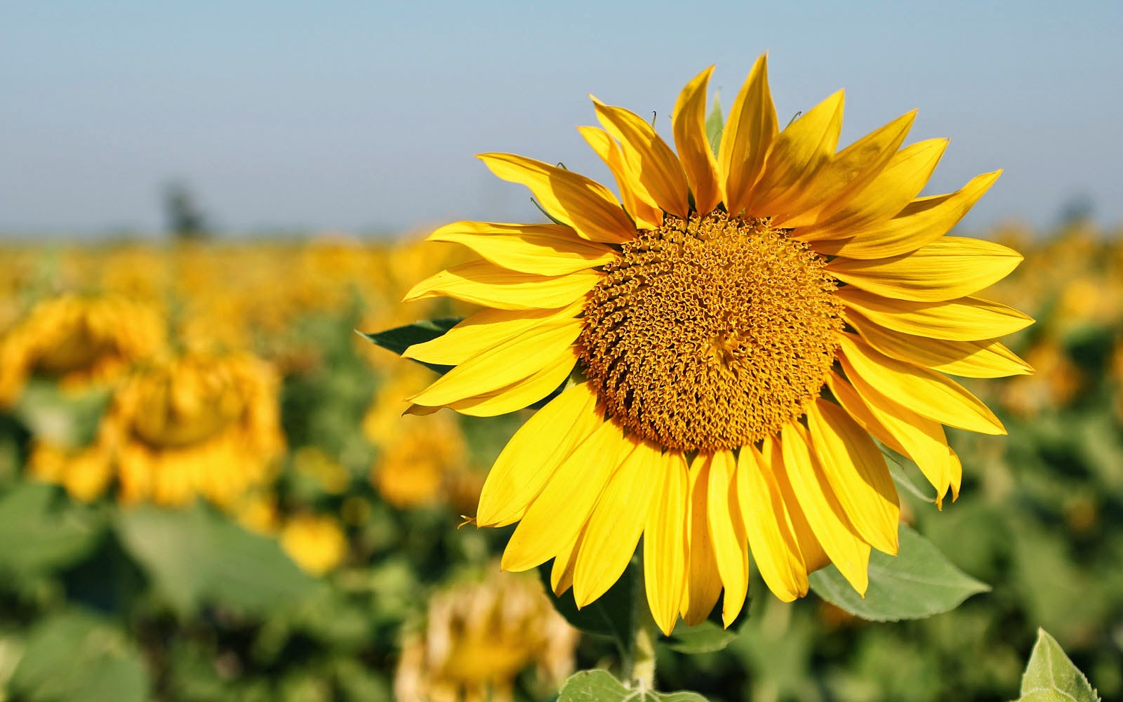 wallpapers Sunflowers Wallpapers