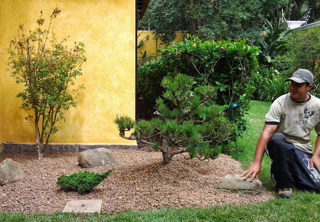 kuromatsu, pinheiro negro, jardim japones