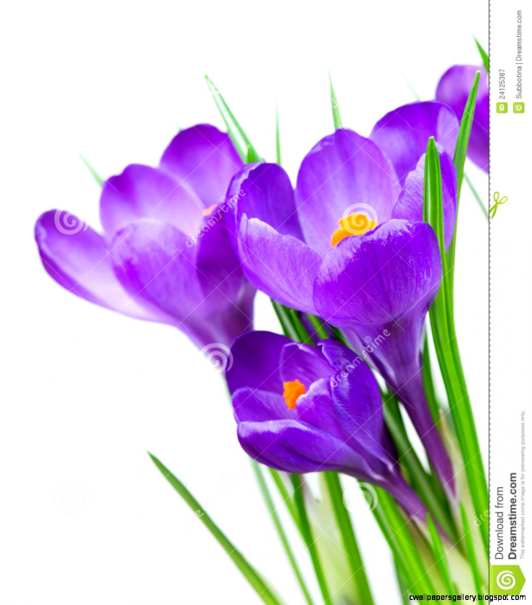 Crocus Spring Flowers Royalty Free Stock Photography   Image 24125387