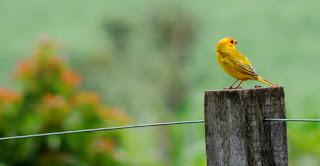 Burung Kenari - Solusi Penangkaran Burung Kenari -  Kode Ring Kenari Import Pada Negara Perancis