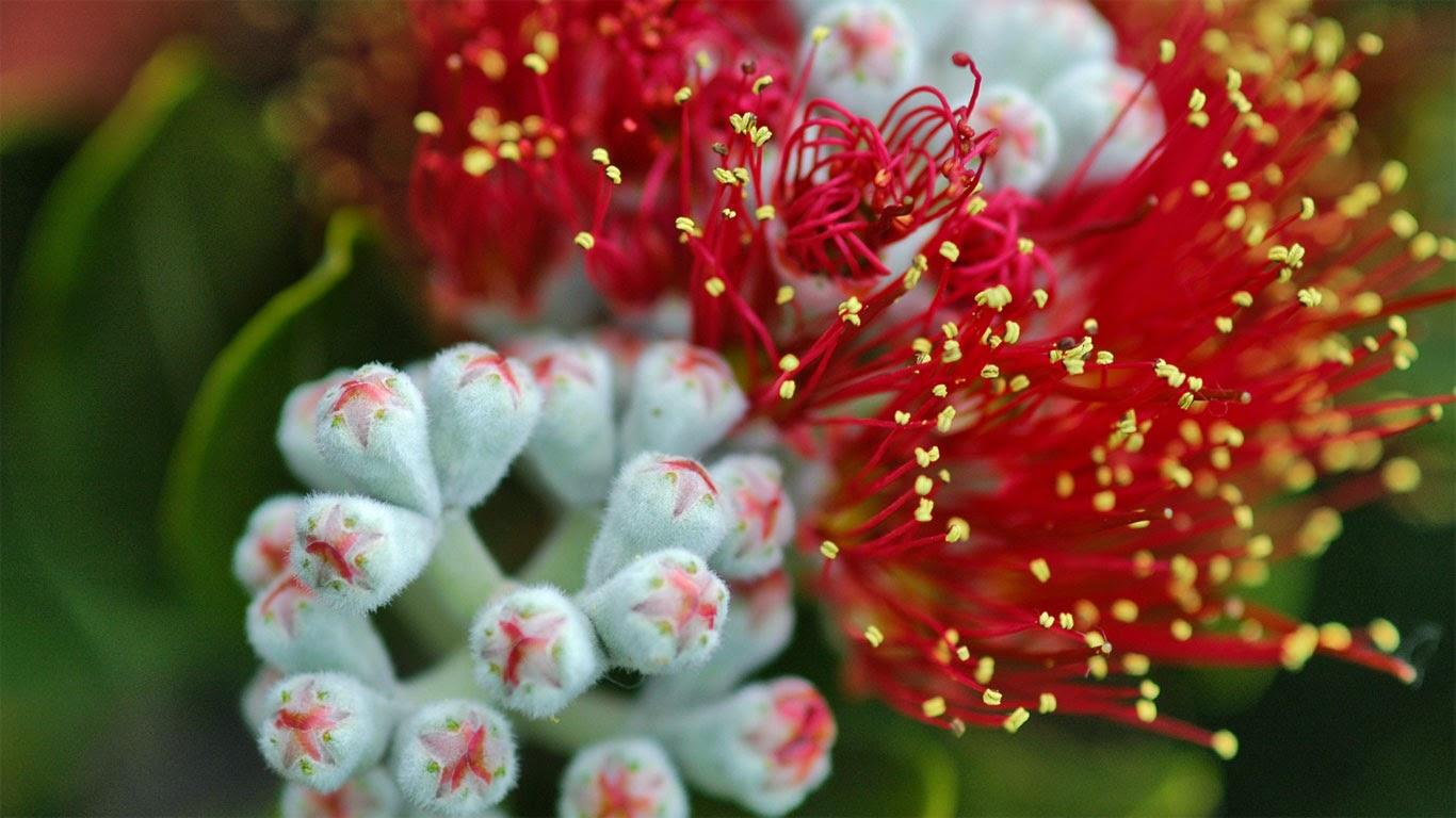 Pōhutukawa (Metrosideros excelsa) tree blossoms on the Hauraki Gulf Coast, North Island, New Zealand (© sassphotos/Getty Images) 303
