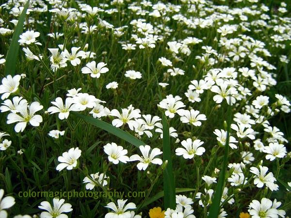 Stellaria holostea ground cover-Greater stitchwort