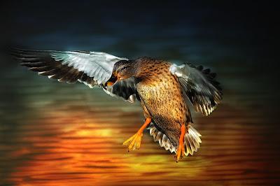 Un pato aterrizando - A landing duck