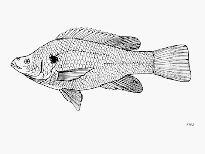 Oreochromis amphimelas extinction fishes