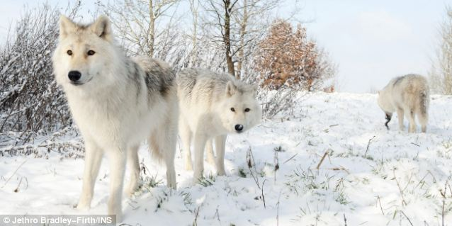 wolf cubs in snow wallpaper - photo #6