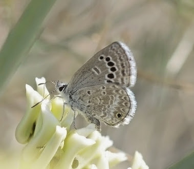 Reakirt's Blue Butterfly on milkweed 504
